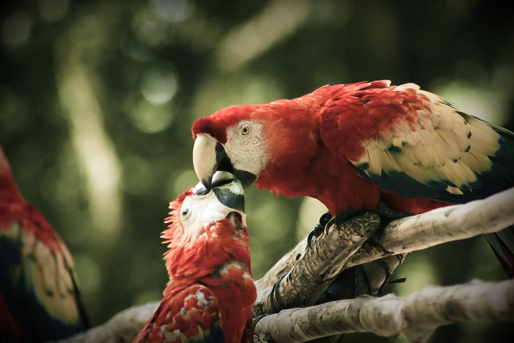 copan-macaw